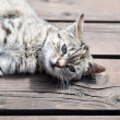 Tabby cat lying on a wood, soft colours — Stock Photo #78041304