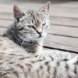 Tabby cat lying on a wood, watching, soft colours — Stock Photo #78041510