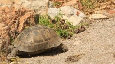 Spur-thighed tortoise (Testudo graeca) — Stock Video