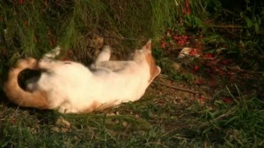 Cat playing  on garden grass — Stock Video