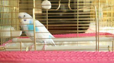 Blue and white budgie — Stock Video