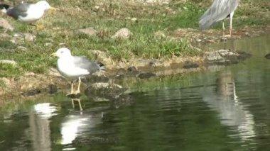 Seagull — Stock Video