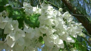 Purple and White Flower Bougainvillea — Stock Video