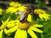 黄色の花の蜂 — ストック写真