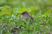 Sparrow in green grass — Stock Photo
