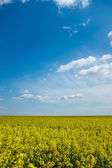 Colza and sky — Stock Photo