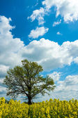 Colza and the tree — Stock Photo