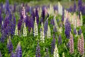 Pink, violet, lilac, blue and white Lupine — Stock Photo