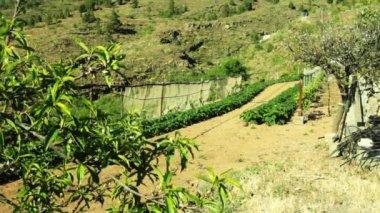 Potato field on a hillside — Stock Video