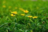 Yellow Climbing wedelia flower — Stock Photo