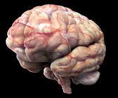 Human brain isolated on black background. — Stock Photo