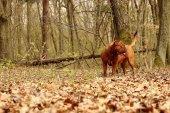 Dogue de Bordeaux, French mastiff — Stock Photo