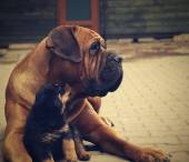 Big dog and little puppy — Stock Photo