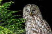 Ural Owl against black background — Stock Photo