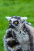 Staring lemur — Stock Photo