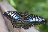 Exótica mariposa descansando — Foto de Stock