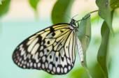Papilio spp butterfly — Foto de Stock