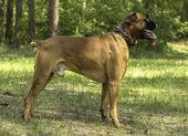 Dog breed boxer — Stock Photo