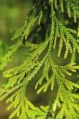 Closeup de árvore de pinho — Fotografia Stock