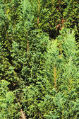 Background of Pine tree branches — Foto de Stock