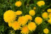 Spring Dandelion Weeds — Stock Photo
