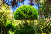 Thuja (latin. Occidentalis) green bush. Central park of Sydney city. Australia — Stock Photo