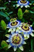 Passionflower — Stock Photo