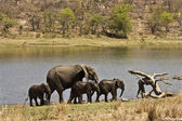 Family of african elephants walking in the riverbank, at Kruger National Park, South Africa — Stock Photo