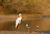 Yellow billed stork in sunset at Lower Sabie, Kruger national park, South Africa — Stock Photo