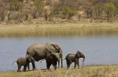 African elephants family, three babies and mother, walking along the river, Kruger, South Africa — Stock Photo
