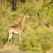 Wild lonely giraffe walking in savannah, in the riverbank, Kruger, South Africa — Stock Photo #73822093