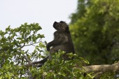 Wild male baboon perched on a tree at Kruger National Park, South Africa — Stock Photo