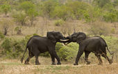 African elephants fighting in the bush, Kruger national park, South Africa — Stock Photo