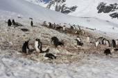 Gentoo Penguin colony, Antarctica — Stock Photo