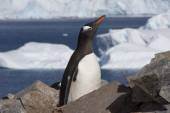 Gentoo Penguin, Antarctica — Stock Photo