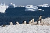 Gentoo Penguin colony, Antarctica — Stockfoto