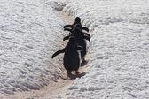 Gentoo Penguin going home, Antarctica — Stock Photo