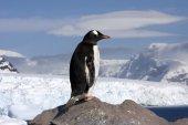 Gentoo Penguin, Antarctica — Stock Photo