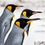Three King penguins walking on the beach closeup — Stock Photo #73214649