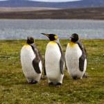 Three King Penguins — Stock Photo #73215493