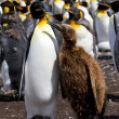 King Penguin colony with chick — Stock Photo #73215543