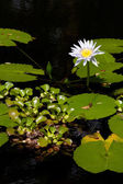 Water lily blooms — Stock Photo