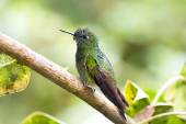 Close up Hummingbird, Colombia — Stock Photo