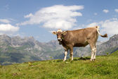 Swiss cow in nature — Stock Photo