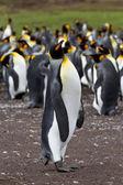 King penguin colony, Falkland Islands — Stock Photo