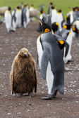 King penguin mother and her chick — Stock Photo