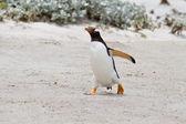 Gentoo penguin, Falkland Islands — Stock Photo