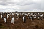 Gentoo penguin colony, falkland islands — Stock Photo