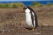 Gentoo Penguin chick — Stockfoto