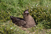 Brown Skua is nesting — Stock Photo
